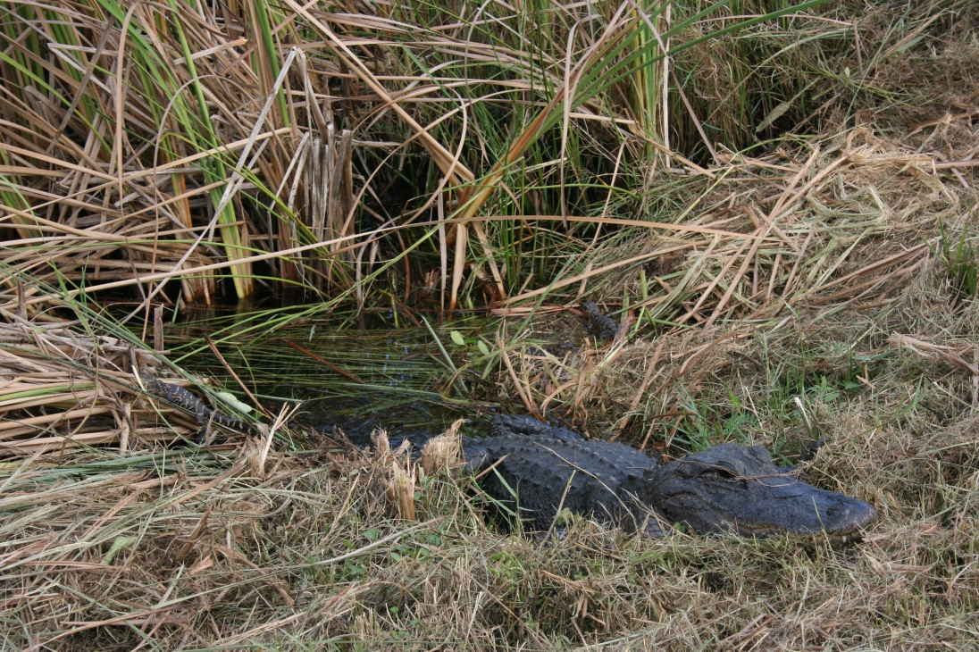 Can you spot the baby gators?