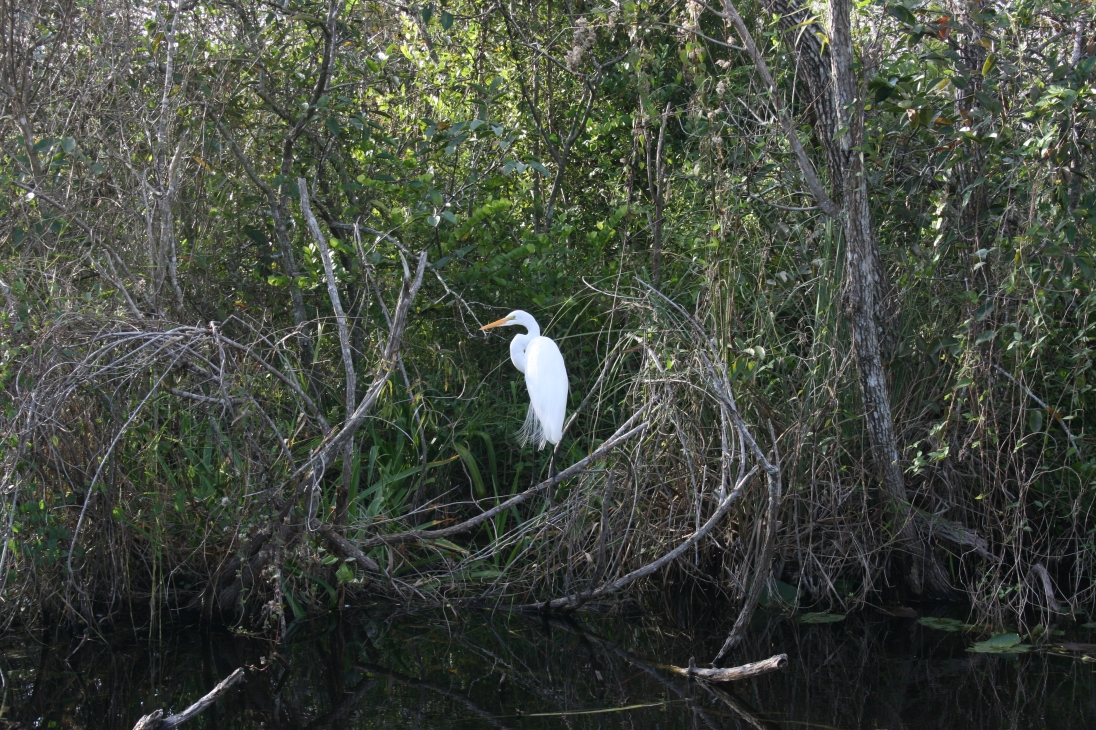 We thought these were cranes for a while. Turns out they're egrets.