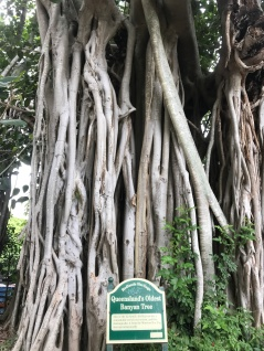 Queensland's oldest banyan tree is nearby.