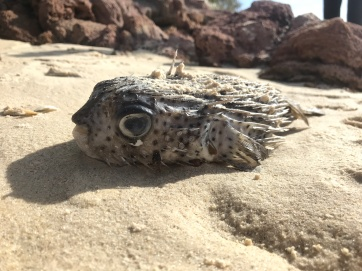Beached puffer fish.