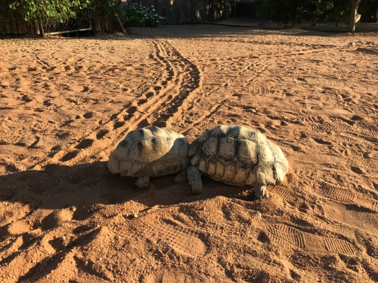 Tortoise fight!